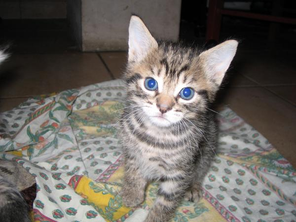 Chaton tigr gris yeux bleus chaton chien donner - Yeux gris bleu ...