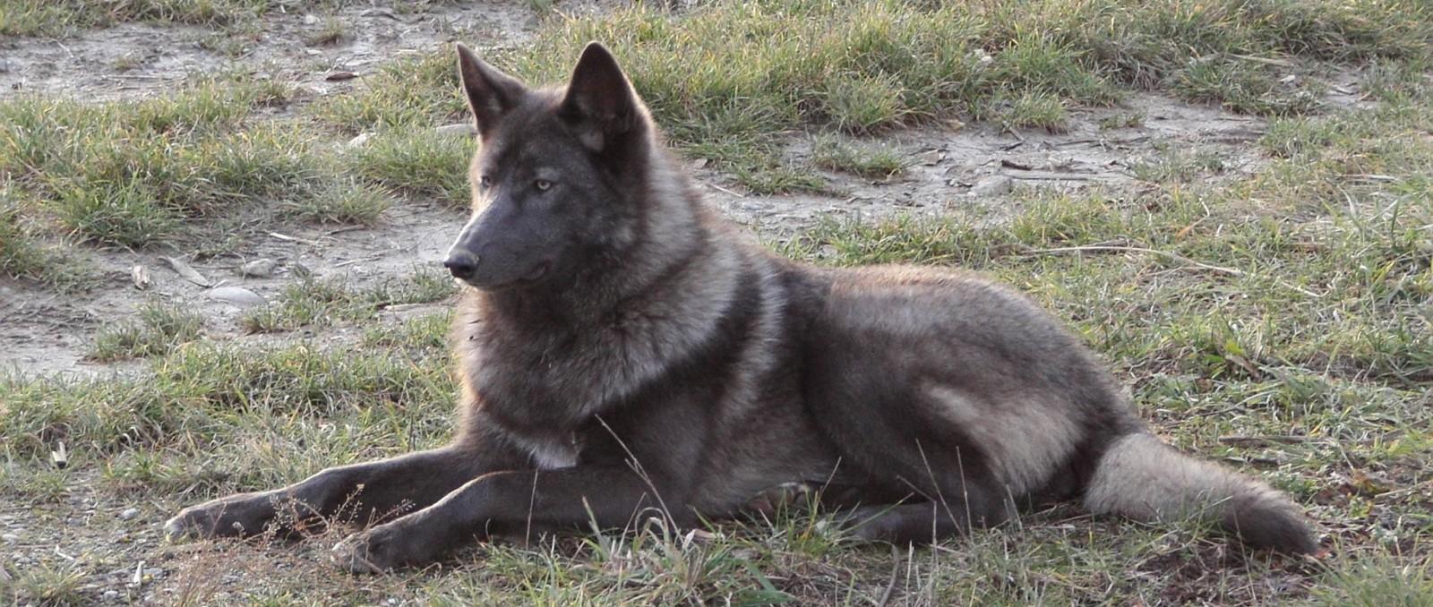 Loup hybride prix – chaton chien à donner