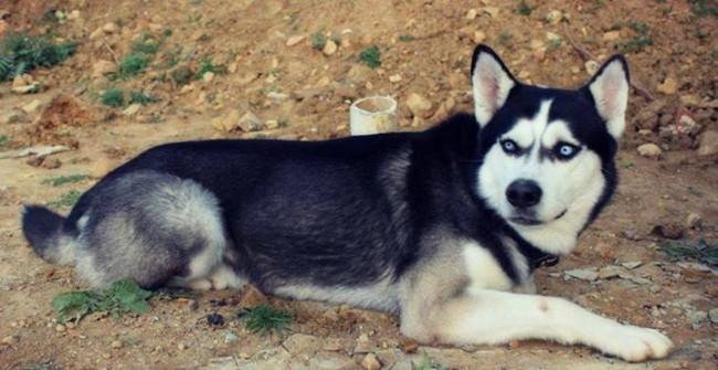 Gut gemocht Chien loup blanc yeux bleu prix – chaton chien à donner SH59