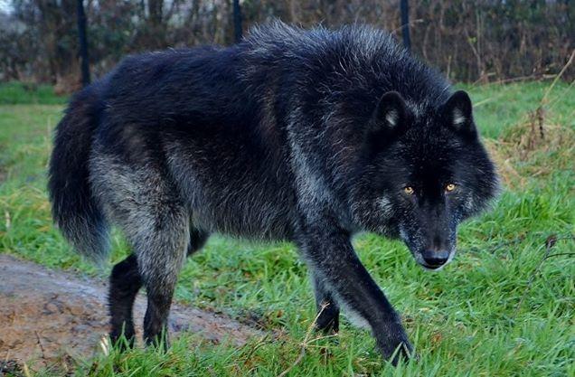 chien loup noir a vendre chaton chien donner. Black Bedroom Furniture Sets. Home Design Ideas