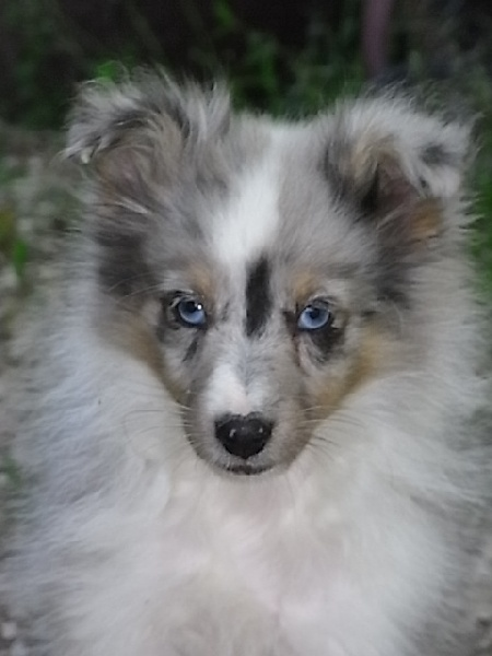 Chiot shetland bleu merle - chaton chien à donner