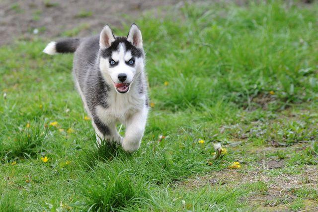 Husky nain a vendre - chaton chien à donner