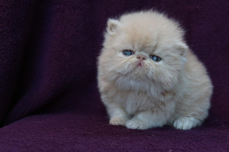 Chaton persan suisse chaton chien donner - Chaton persan gratuit ...