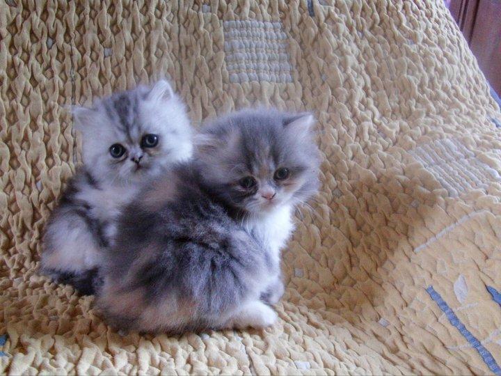 Pour que votre chat ait le poil doux et brillant, regardez les brosses pas  cher ici Chaton persan le bon coin
