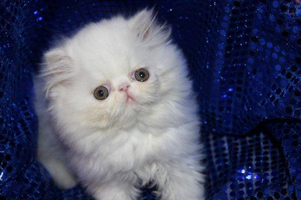 Persan chaton a donner chaton chien donner - Chaton persan gratuit ...