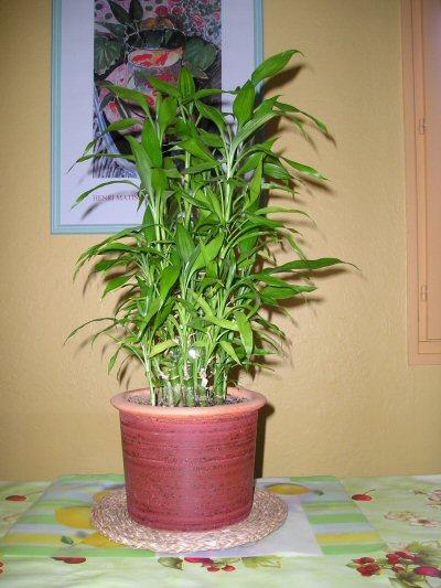 Entretien lucky bambou